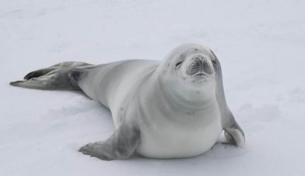 Животные-Антарктиды-Описание-и-особенности-животных-Антарктиды-28