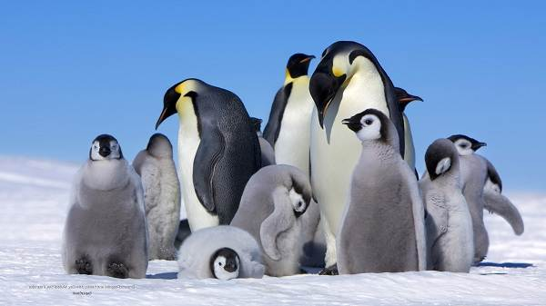 Животные-Антарктиды-Описание-и-особенности-животных-Антарктиды-31