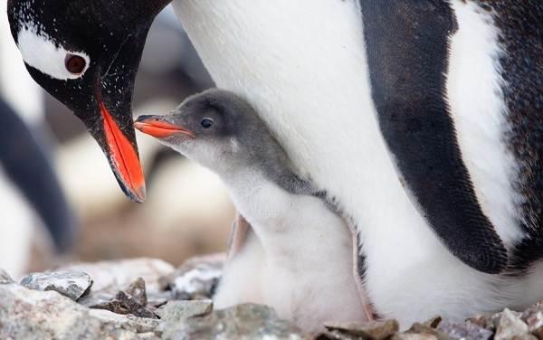Животные-Антарктиды-Описание-и-особенности-животных-Антарктиды-32