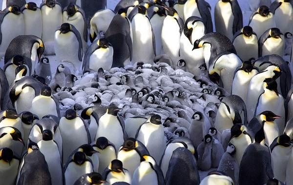 Животные-Антарктиды-Описание-и-особенности-животных-Антарктиды-33