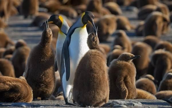 Животные-Антарктиды-Описание-и-особенности-животных-Антарктиды-34