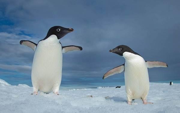 Животные-Антарктиды-Описание-и-особенности-животных-Антарктиды-37