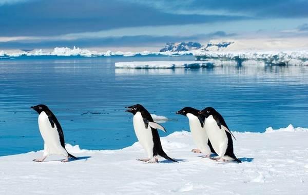 Животные-Антарктиды-Описание-и-особенности-животных-Антарктиды-38