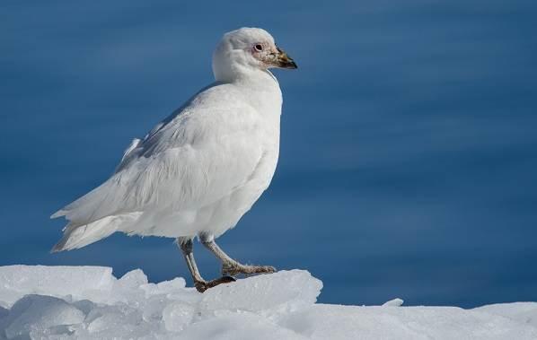 Животные-Антарктиды-Описание-и-особенности-животных-Антарктиды-47