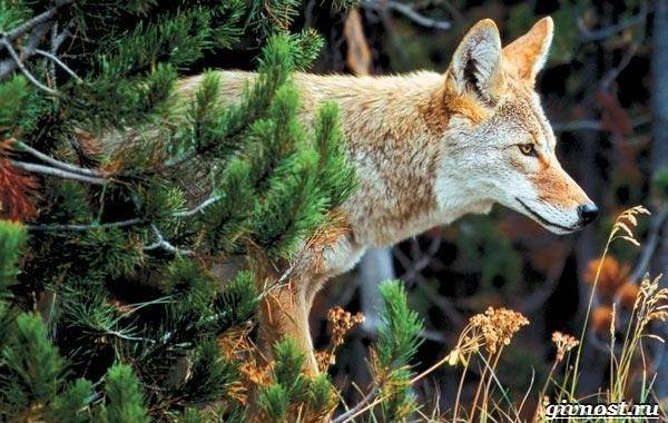 Животные-Северной-Америки-Описание-названия-и-виды-животных-Северной-Америки-1