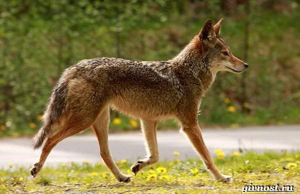 Животные-Северной-Америки-Описание-названия-и-виды-животных-Северной-Америки-14