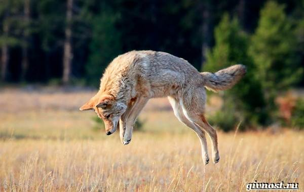 Животные-Северной-Америки-Описание-названия-и-виды-животных-Северной-Америки-15