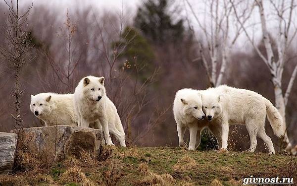 Животные-Северной-Америки-Описание-названия-и-виды-животных-Северной-Америки-17