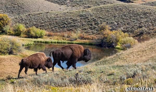 Животные-Северной-Америки-Описание-названия-и-виды-животных-Северной-Америки-18