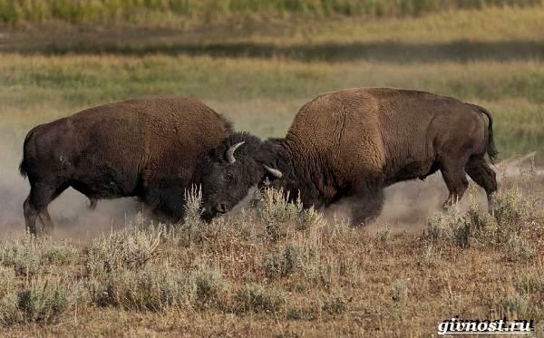 Животные-Северной-Америки-Описание-названия-и-виды-животных-Северной-Америки-19
