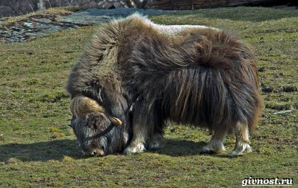 Животные-Северной-Америки-Описание-названия-и-виды-животных-Северной-Америки-20