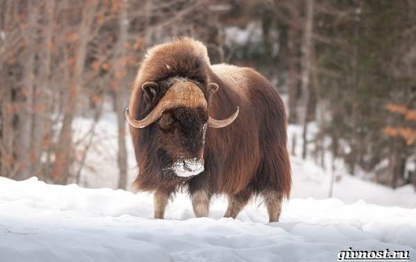 Животные-Северной-Америки-Описание-названия-и-виды-животных-Северной-Америки-21