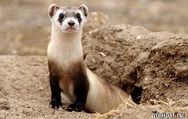 Животные-Северной-Америки-Описание-названия-и-виды-животных-Северной-Америки-24