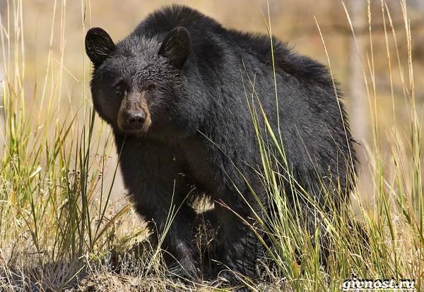 Животные-Северной-Америки-Описание-названия-и-виды-животных-Северной-Америки-7