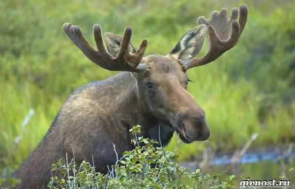 Животные-Северной-Америки-Описание-названия-и-виды-животных-Северной-Америки-9