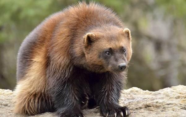 Животные-Урала-Описание-названия-и-виды-животных-Урала-13