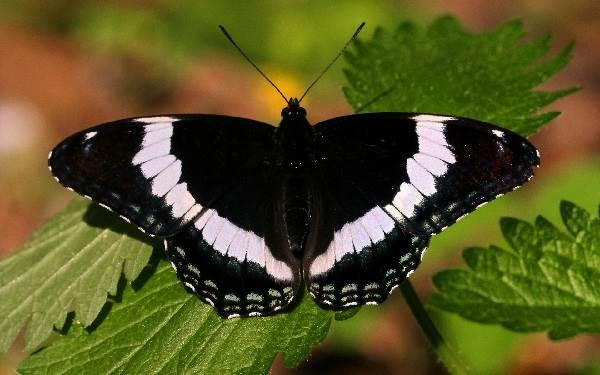 Бабочка-адмирал-Описание-особенности-виды-и-среда-обитания-бабочки-адмирал-1