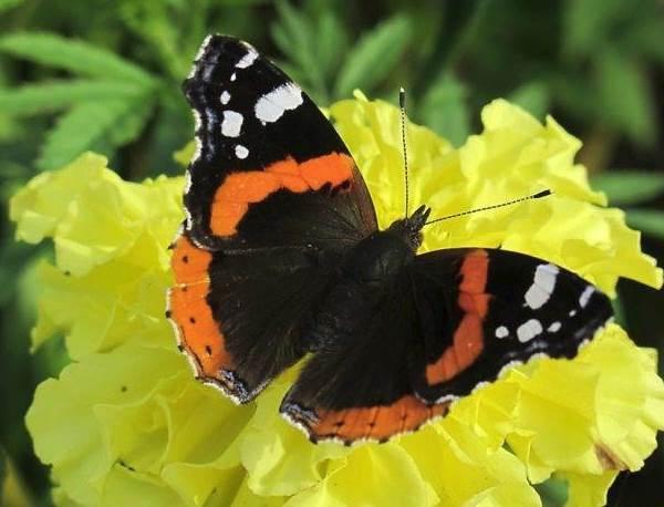 Бабочка-адмирал-Описание-особенности-виды-и-среда-обитания-бабочки-адмирал-2