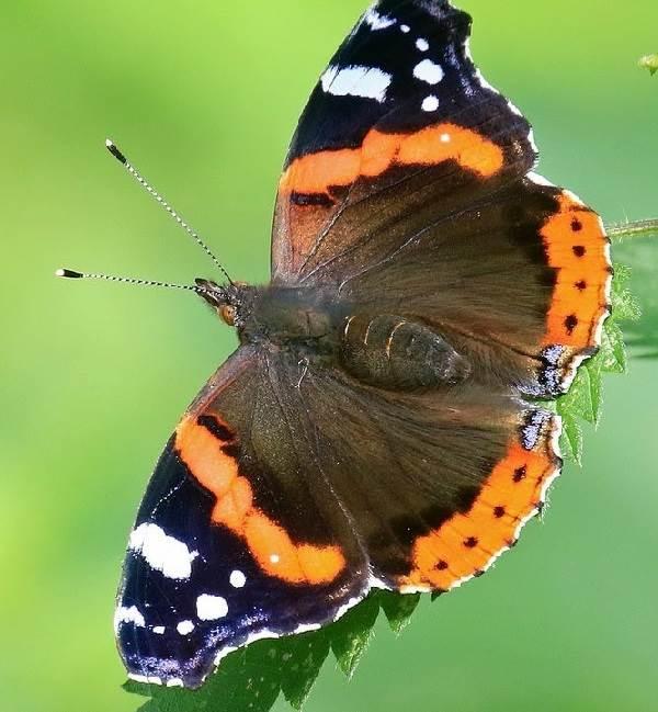 Бабочка-адмирал-Описание-особенности-виды-и-среда-обитания-бабочки-адмирал-3