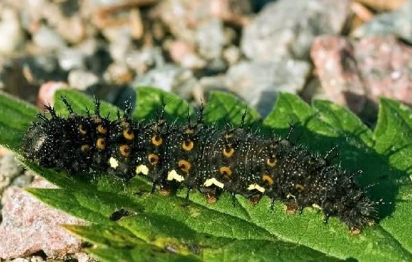 Бабочка-адмирал-Описание-особенности-виды-и-среда-обитания-бабочки-адмирал-4