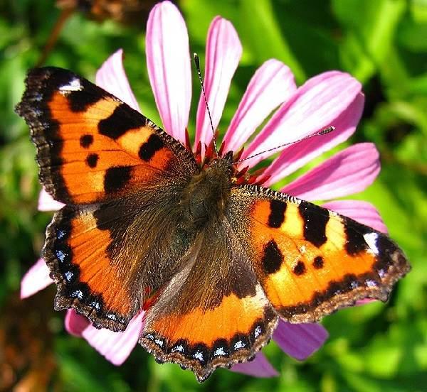 Бабочка-адмирал-Описание-особенности-виды-и-среда-обитания-бабочки-адмирал-5