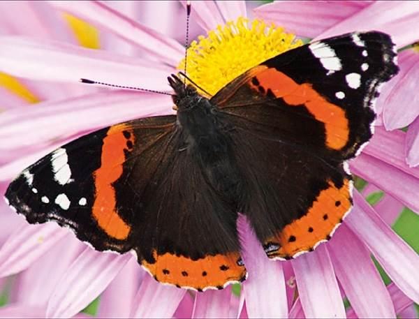 Бабочка-адмирал-Описание-особенности-виды-и-среда-обитания-бабочки-адмирал-6