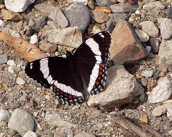 Бабочка-адмирал-Описание-особенности-виды-и-среда-обитания-бабочки-адмирал-7