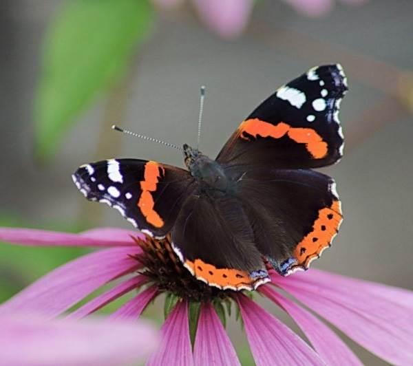 Бабочка-адмирал-Описание-особенности-виды-и-среда-обитания-бабочки-адмирал-8