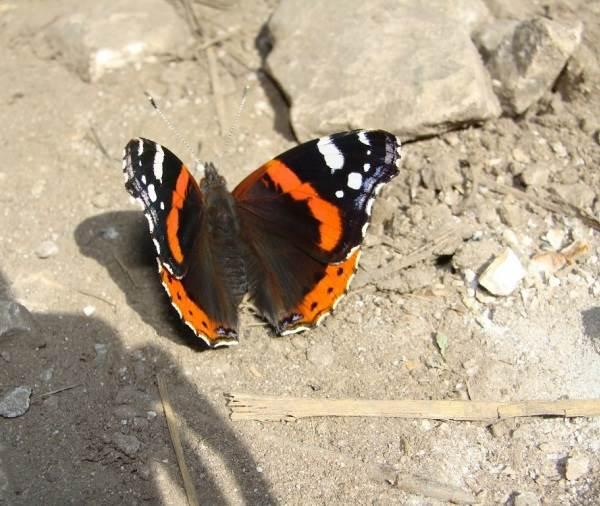 Бабочка-адмирал-Описание-особенности-виды-и-среда-обитания-бабочки-адмирал-9