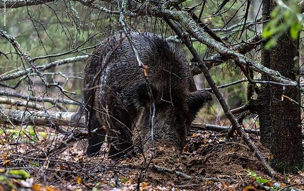 Дикий-кабан-Образ-жизни-и-среда-обитания-дикого-кабана-16
