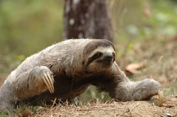 Ленивец-животное-Образ-жизни-и-среда-обитания-ленивца-1