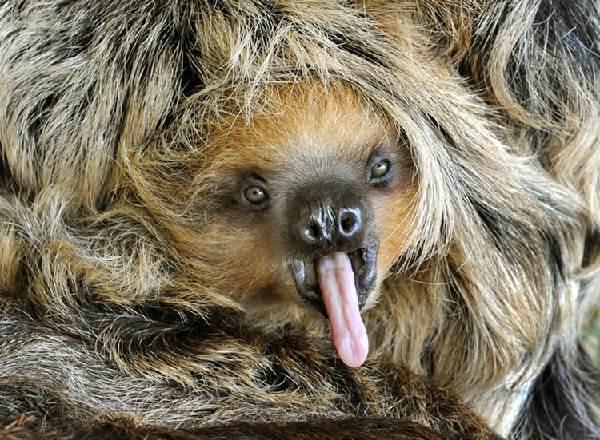 Ленивец-животное-Образ-жизни-и-среда-обитания-ленивца-3