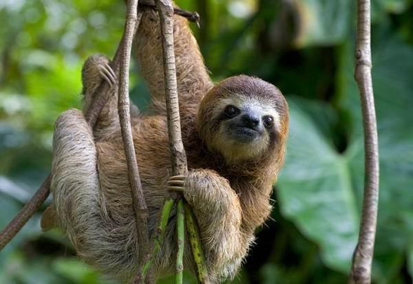 Ленивец-животное-Образ-жизни-и-среда-обитания-ленивца-4