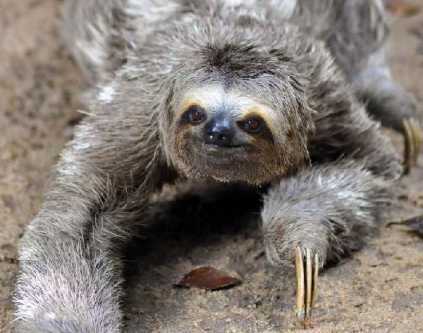 Ленивец-животное-Образ-жизни-и-среда-обитания-ленивца-5