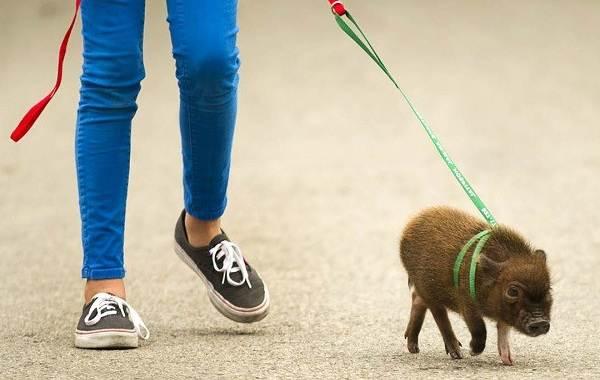Мини-пиги-свинья-Особенности-уход-и-цена-мини-пиги-12