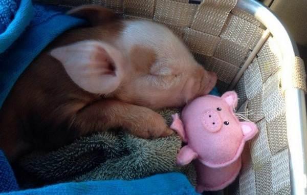 Мини-пиги-свинья-Особенности-уход-и-цена-мини-пиги-13