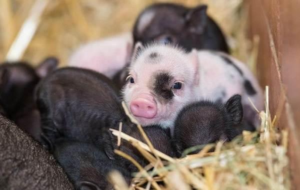 Мини-пиги-свинья-Особенности-уход-и-цена-мини-пиги-16
