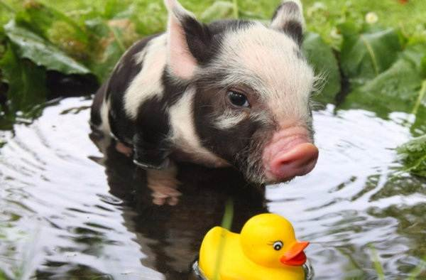 Мини-пиги-свинья-Особенности-уход-и-цена-мини-пиги-2