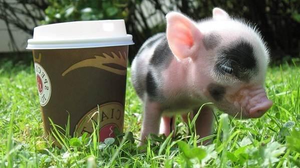 Мини-пиги-свинья-Особенности-уход-и-цена-мини-пиги-4