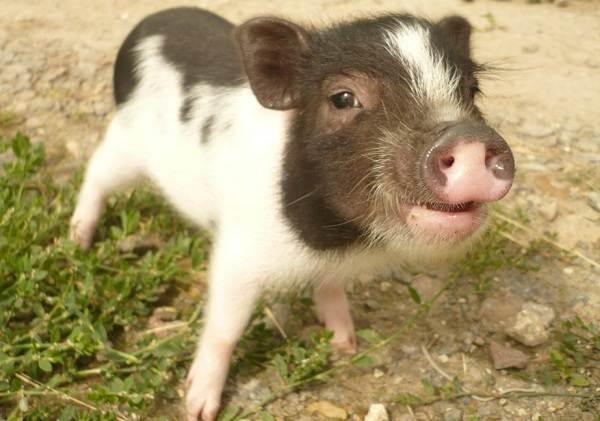 Мини-пиги-свинья-Особенности-уход-и-цена-мини-пиги-6