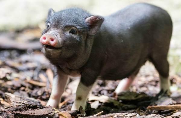 Мини-пиги-свинья-Особенности-уход-и-цена-мини-пиги-7