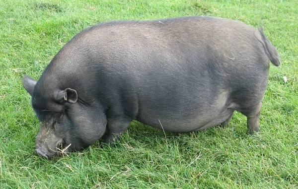 Мини-пиги-свинья-Особенности-уход-и-цена-мини-пиги-8