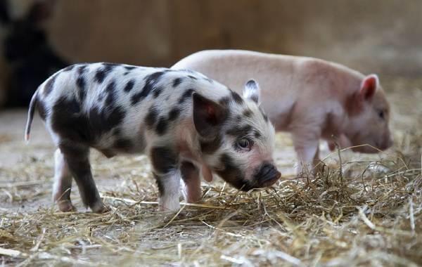 Мини-пиги-свинья-Особенности-уход-и-цена-мини-пиги-9
