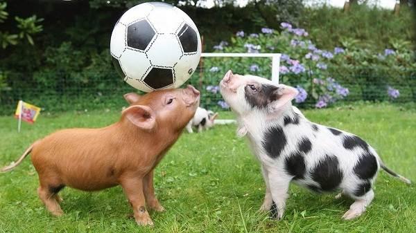 Мини-пиги-свинья-Особенности-уход-и-цена-мини-пиги