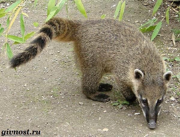 Носуха-животное-Образ-жизни-и-среда-обитания-носухи-1