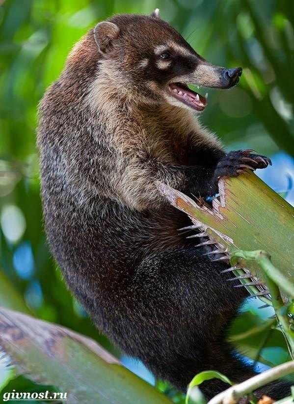 Носуха-животное-Образ-жизни-и-среда-обитания-носухи-2