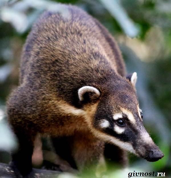 Носуха-животное-Образ-жизни-и-среда-обитания-носухи-4