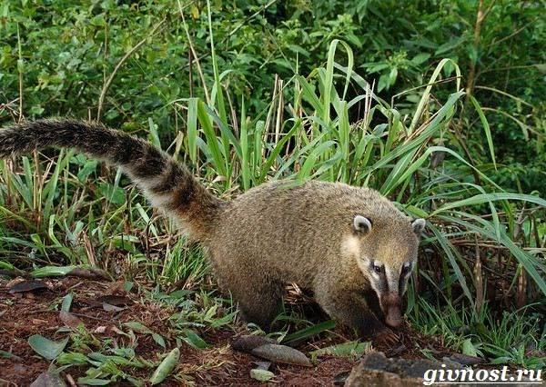 Носуха-животное-Образ-жизни-и-среда-обитания-носухи-6