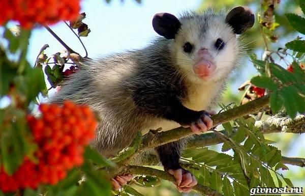 Опоссум-животное-Образ-жизни-и-среда-обитания-опоссума-1
