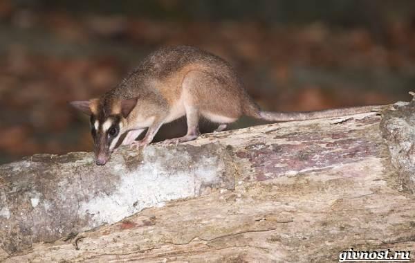 Опоссум-животное-Образ-жизни-и-среда-обитания-опоссума-10